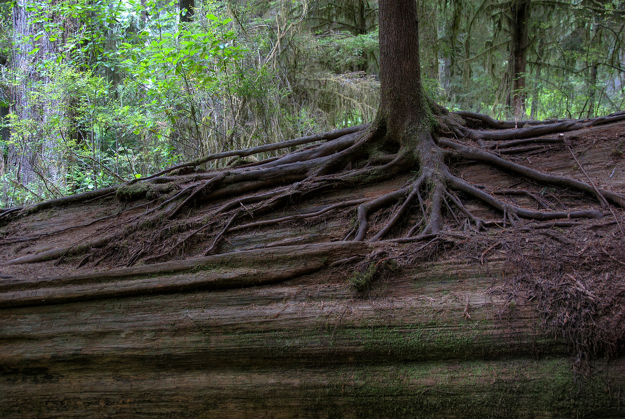 Roots of a tree in Redwood National Park in California