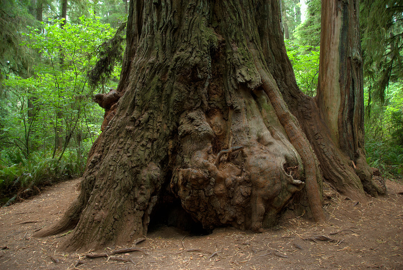 Large roots of Redwood tree in Redwood National Park in California