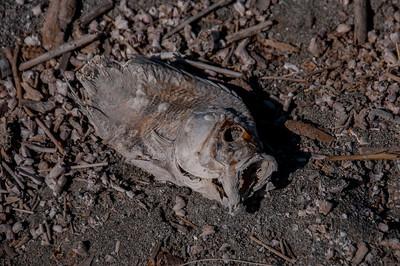 Fish on the shore of Salton Sea in California