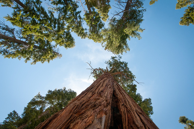 Looking up the giant sequoia trees in Yosemite National Park