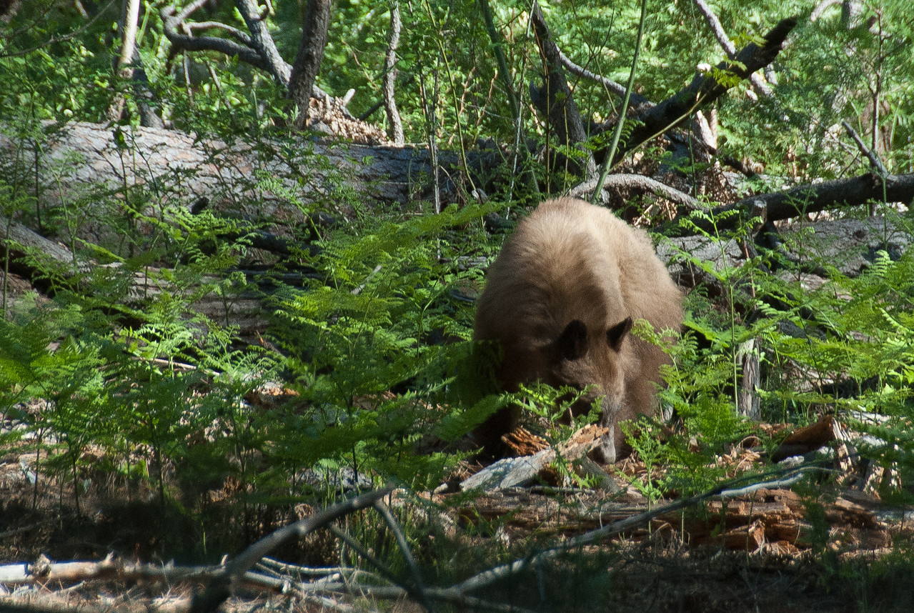 Bear scavenging for food at Yosemite National Park, California