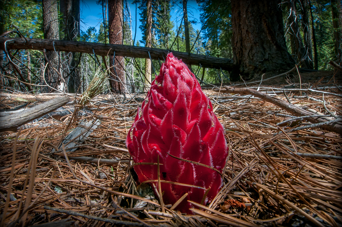 A Snow Plant in the Maraposa Grove of Yosemite National Park