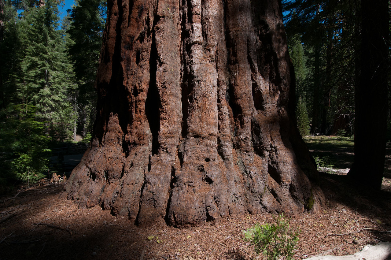 Large root of a giant sequoia tree in Yosemite National Park