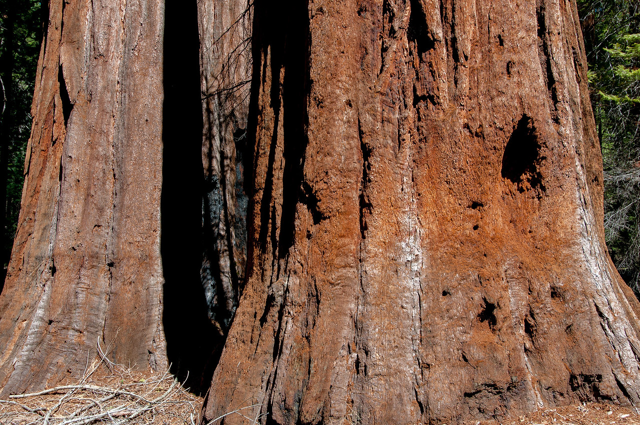 Details of a giant sequoia tree in Yosemite National Park
