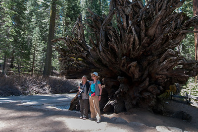 Giant sequoia tree root in Yosemite National Park, California