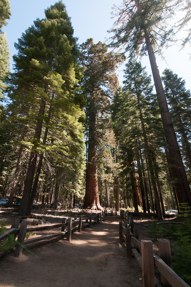 Giant sequoia trees at Yosemite National Park, California