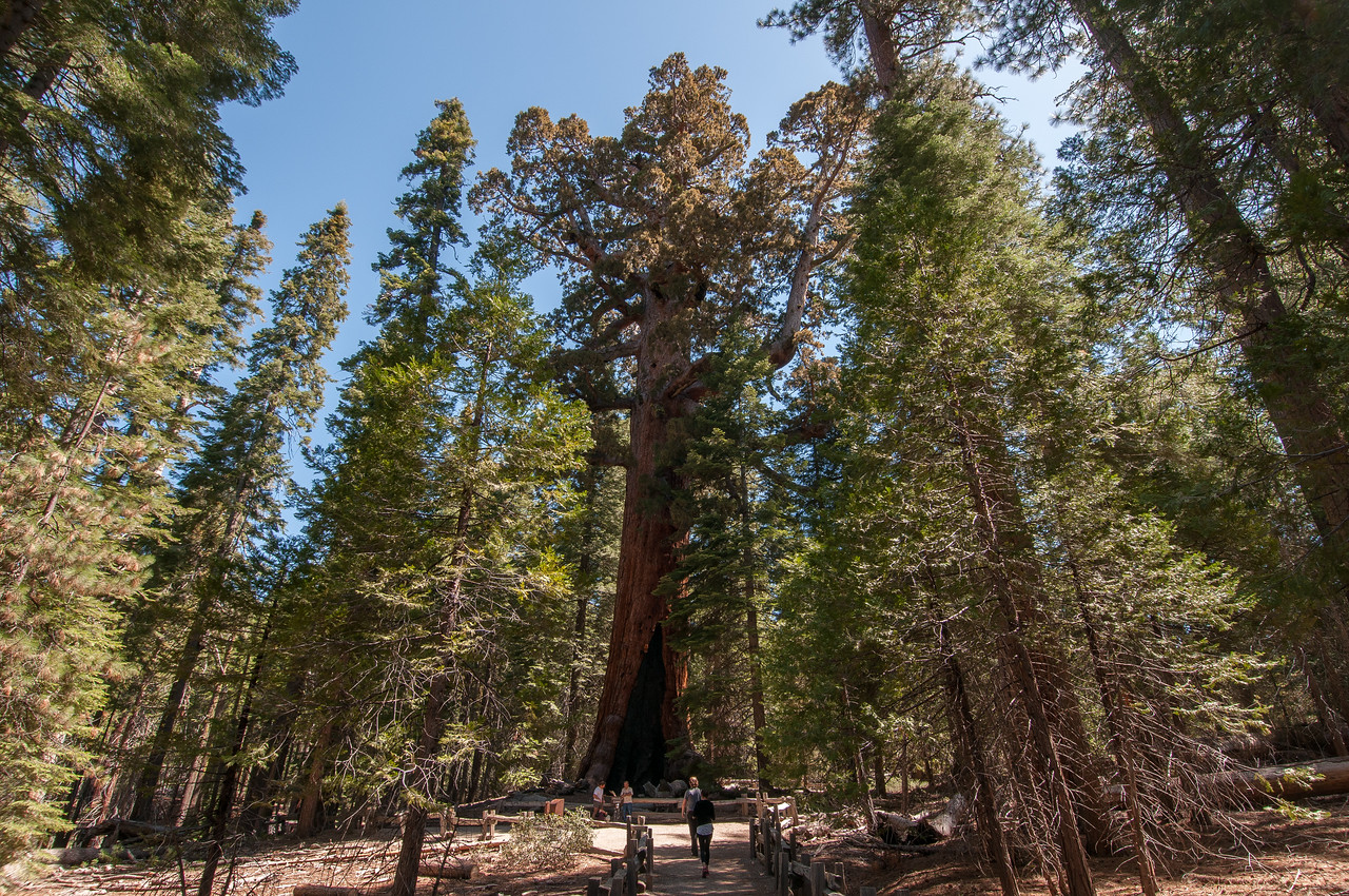 Giant sequoia tree at Mariposa Grove, Yosemite National Park, California