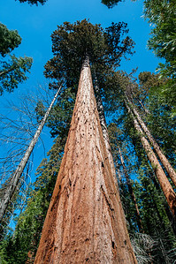Looking up tall sequoia trees in Yosemite National Park