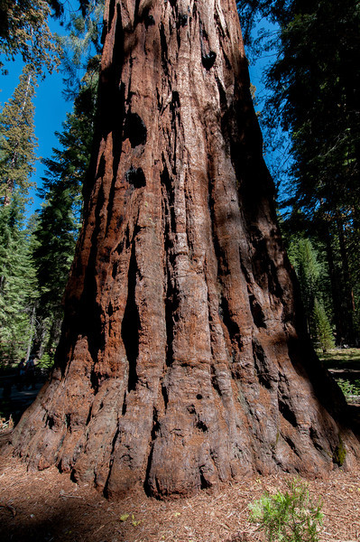 Upclose shot of giant sequoia tree in Yosemite National Park