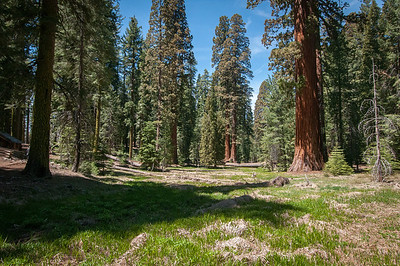 Giant sequoia trees at Mariposa Grove in Yosemite National Park