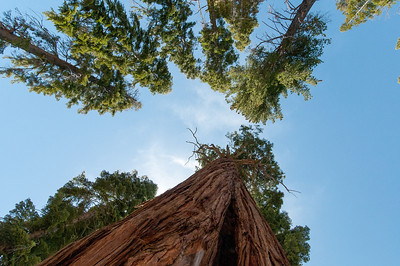 Looking up the sky and giant sequoia trees in Yosemite National Park