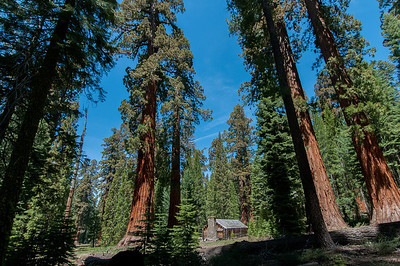Giant sequoia trees in Yosemite National Park, California