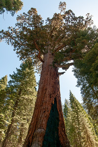 Looking up the giant sequoia tree at Mariposa Grove, Yosemite National Park