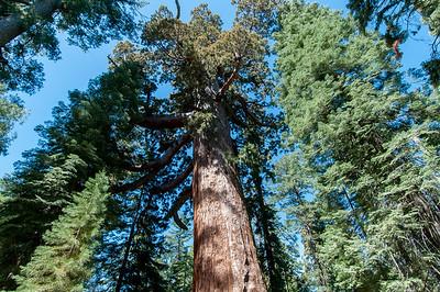 Giant sequoia trees at Yosemite National Park, California