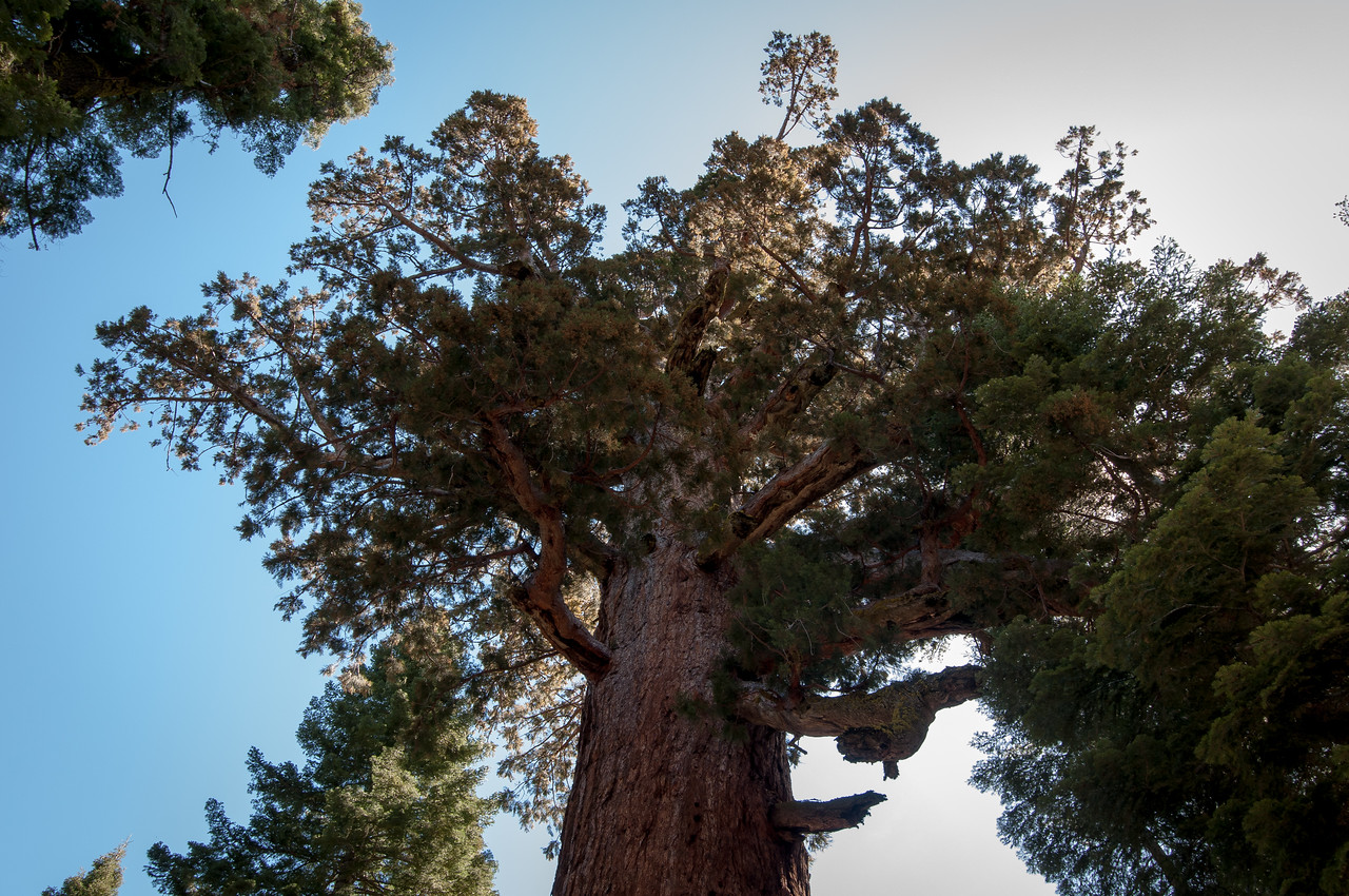 Looking up giant sequoia tree in Yosemite National Park, California