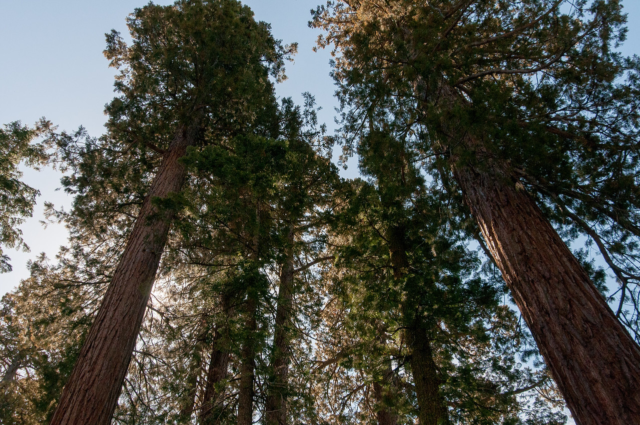 Looking up giant sequoia trees in Yosemite National Park, California