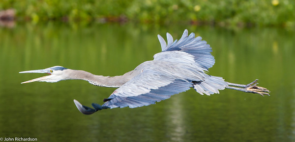 Great Blue Heron (Ardea herodias) - San Carlos