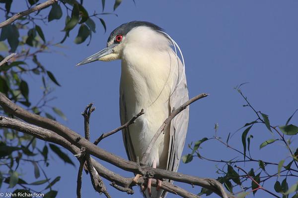 Black-crowned Night-Heron (Nycticorax nycticorax) - Palo Alto