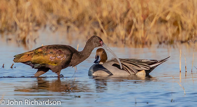 White-faced Ibis (Plegadis chihi) & Northern Pintail (Anas acuta)- Colusa Wildlife Refuge