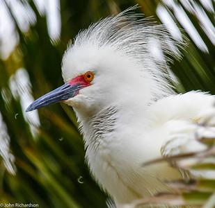Snowy Egret (Egretta thula)  - Palo Alto