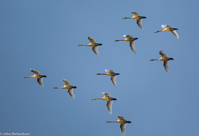 Tundra Swan (Cygnus columbianus) - Lodi