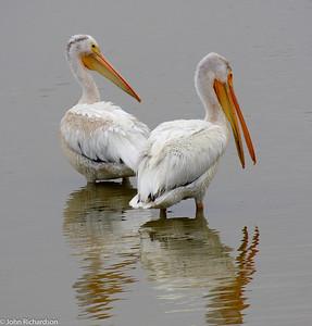White Pelican (Pelecanus erythrorhynchos) - Palo Alto