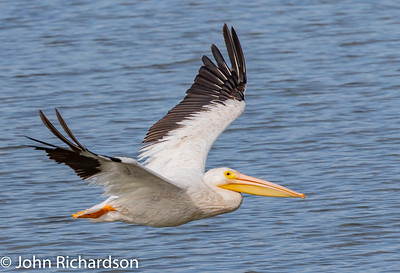 White Pelican (Pelecanus erythrorhynchos) - Shoreline Bay Nature Trail