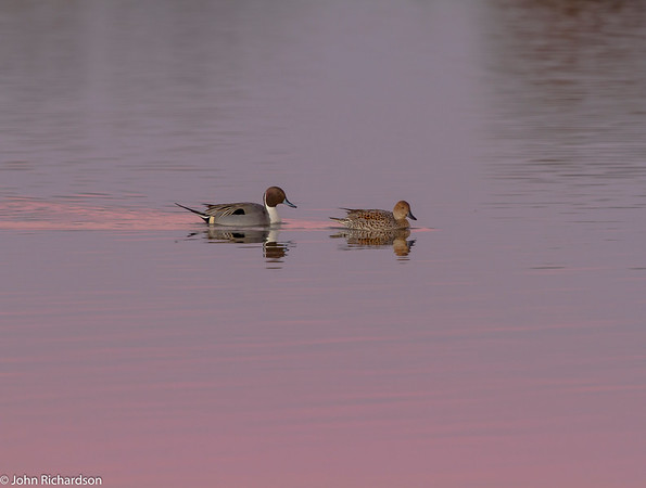 Northern Pintail (Anas acuta) - Lodi