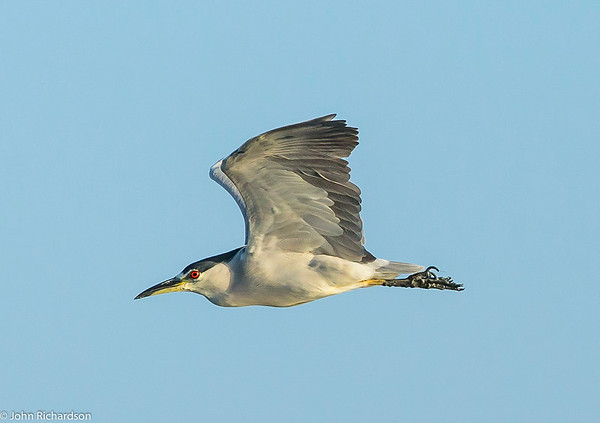 Black-crowned Night-Heron (Nycticorax nycticorax) - Palo Alto