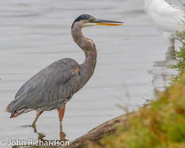 Great Blue Heron (Ardea herodias) - Shoreline Bay Nature Trail
