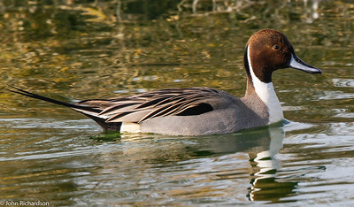 Northern Pintail (Anas acuta) - Palo Alto