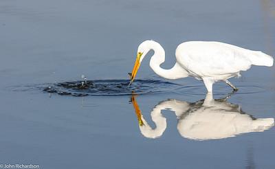 Great Egret (Ardea alba) - Palo Alto