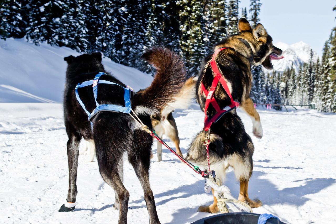 Dog sledding in Lake Louise