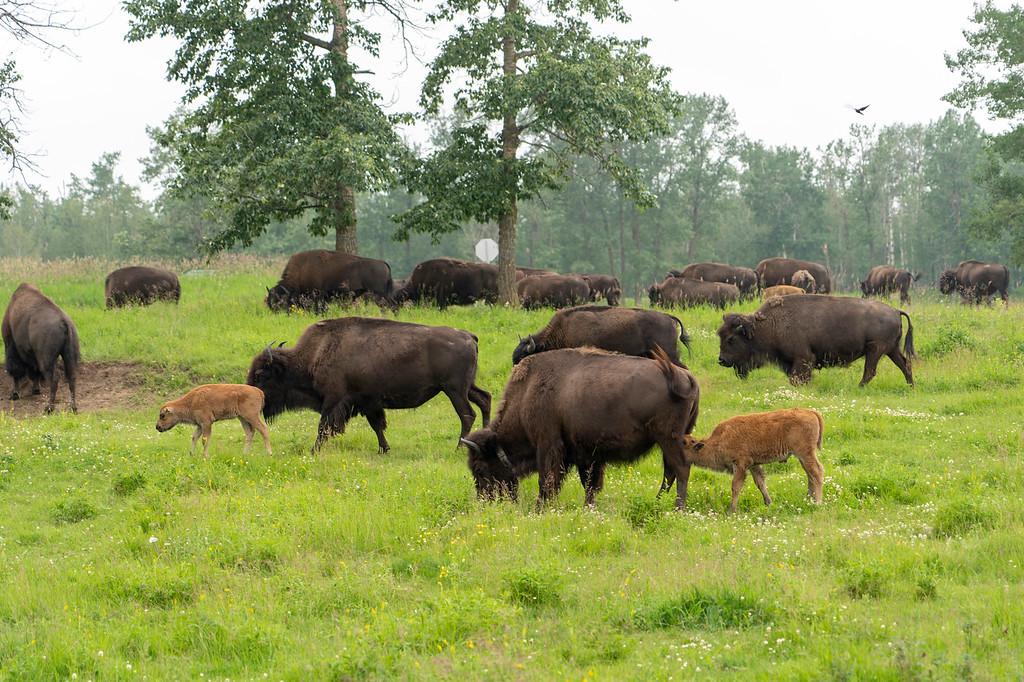Bison at Elk Island National Park