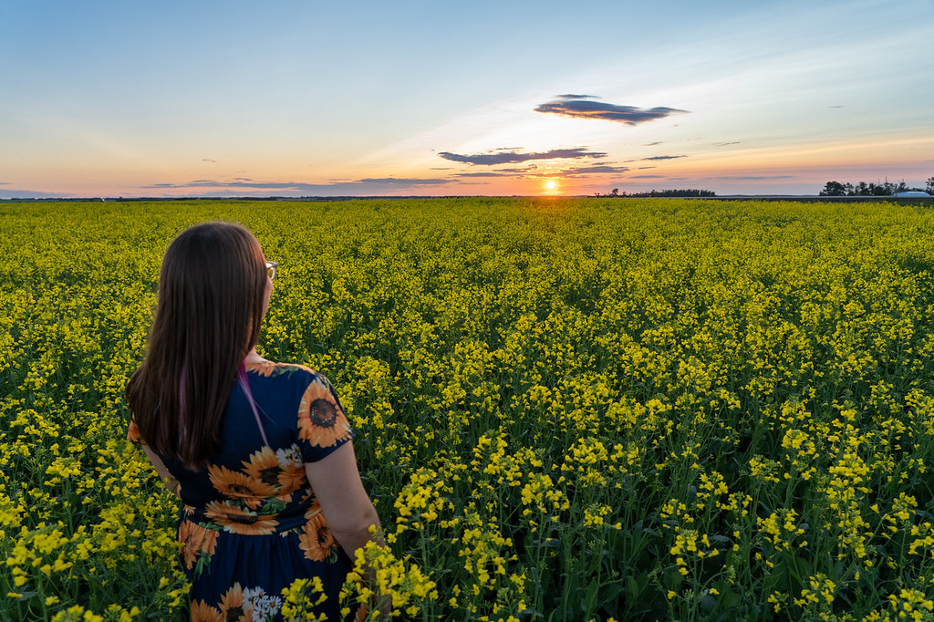 Sunset over a canola field in Alberta