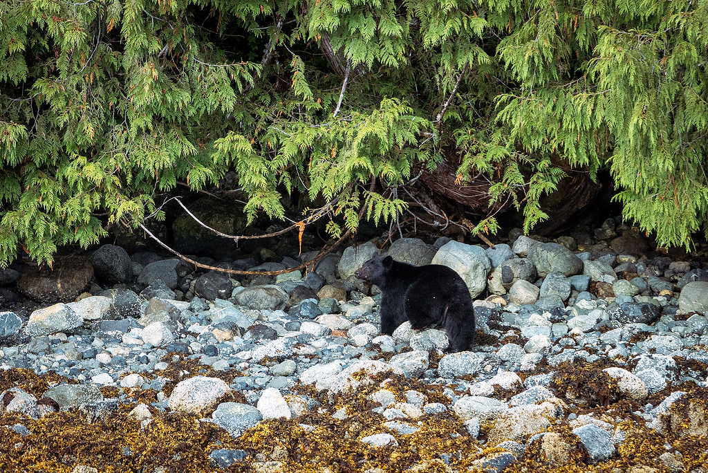 Black Bear Tofino