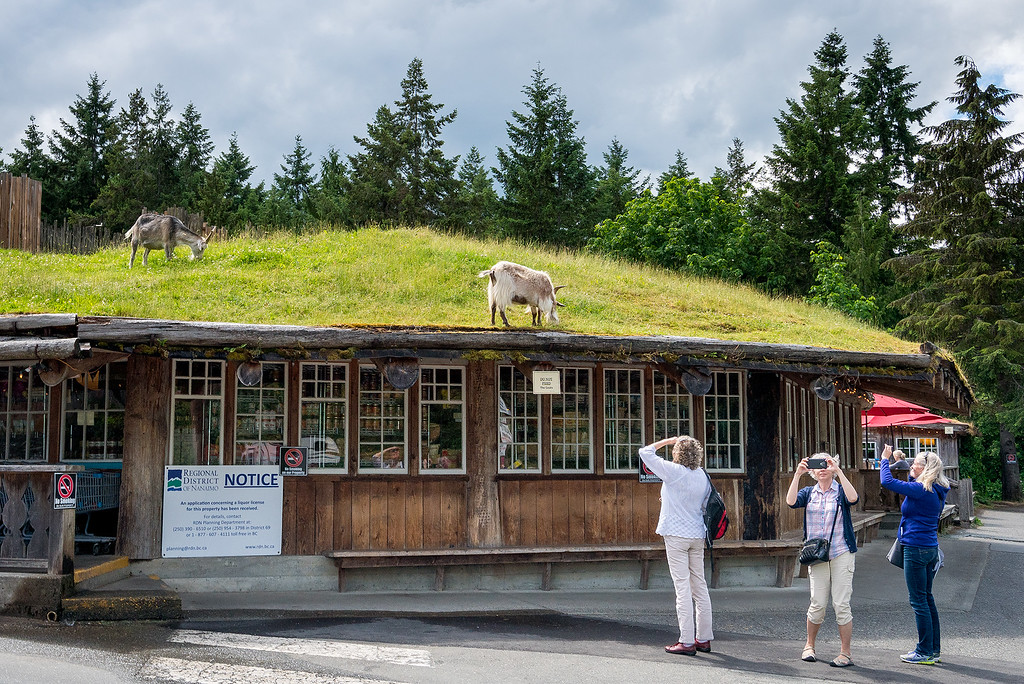 Vancouver Island Goats on a Roof