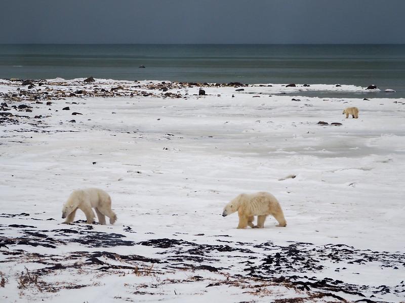 Polar bears at Hudson Bay in Manitoba