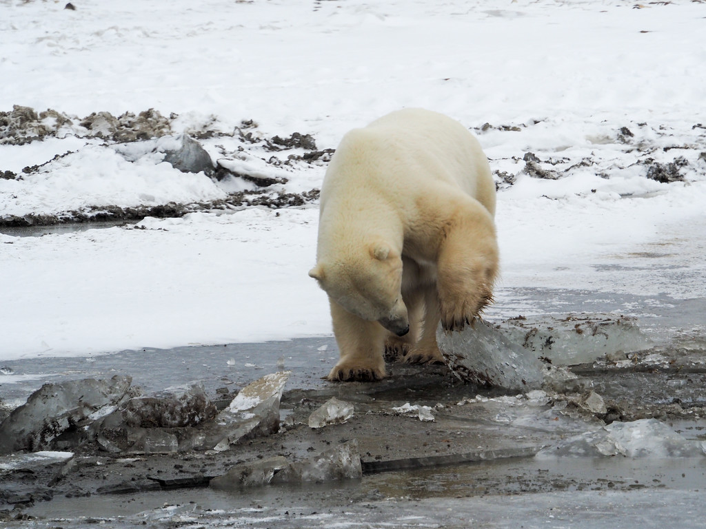 Polar bear playing with ice