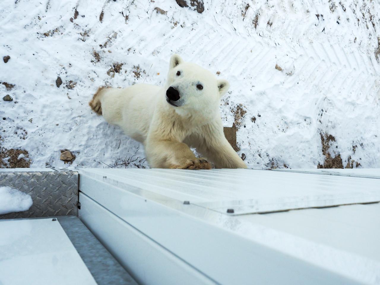 Curious polar bear in Churchill