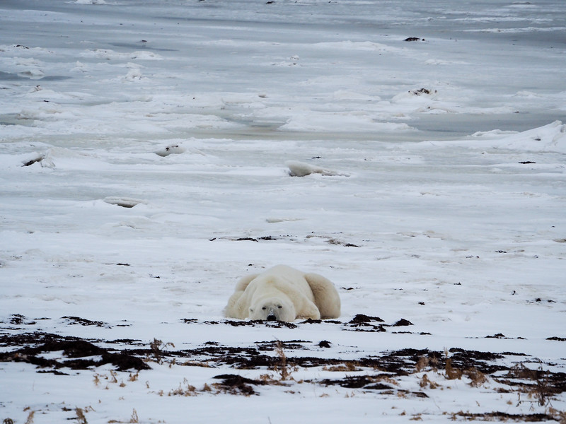 Polar bear nap time
