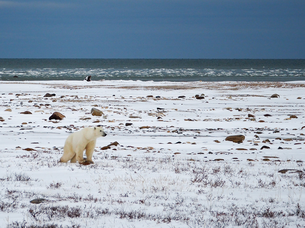 Polar bear at the Hudson Bay in Manitoba