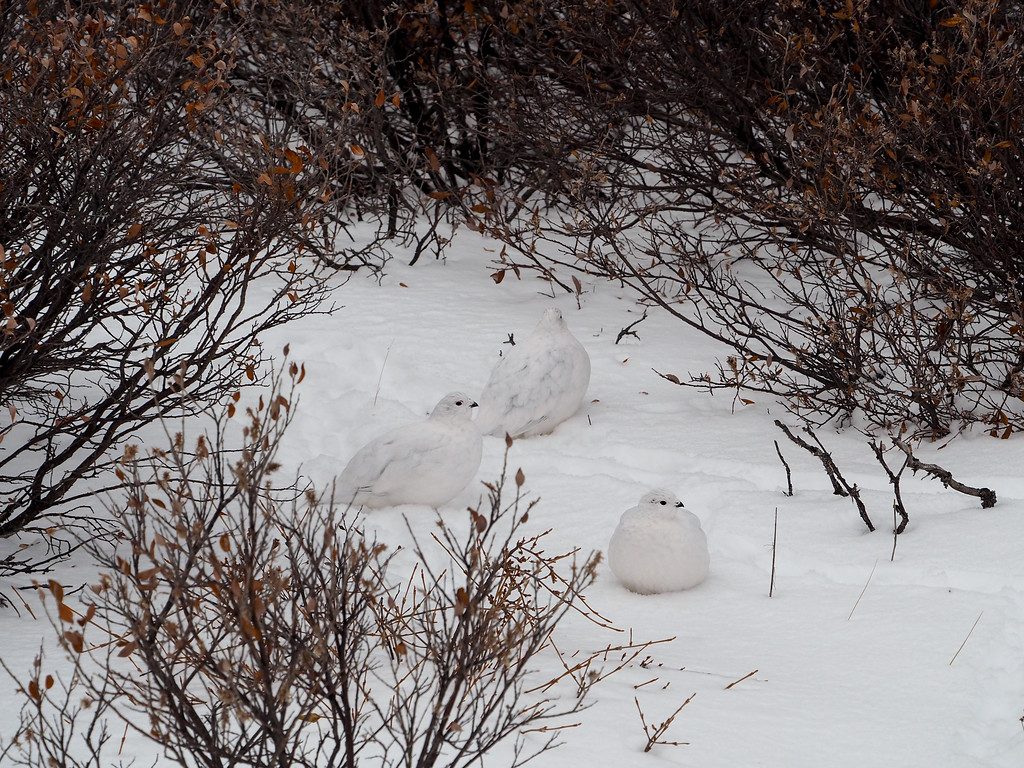Ptarmigan on the tundra