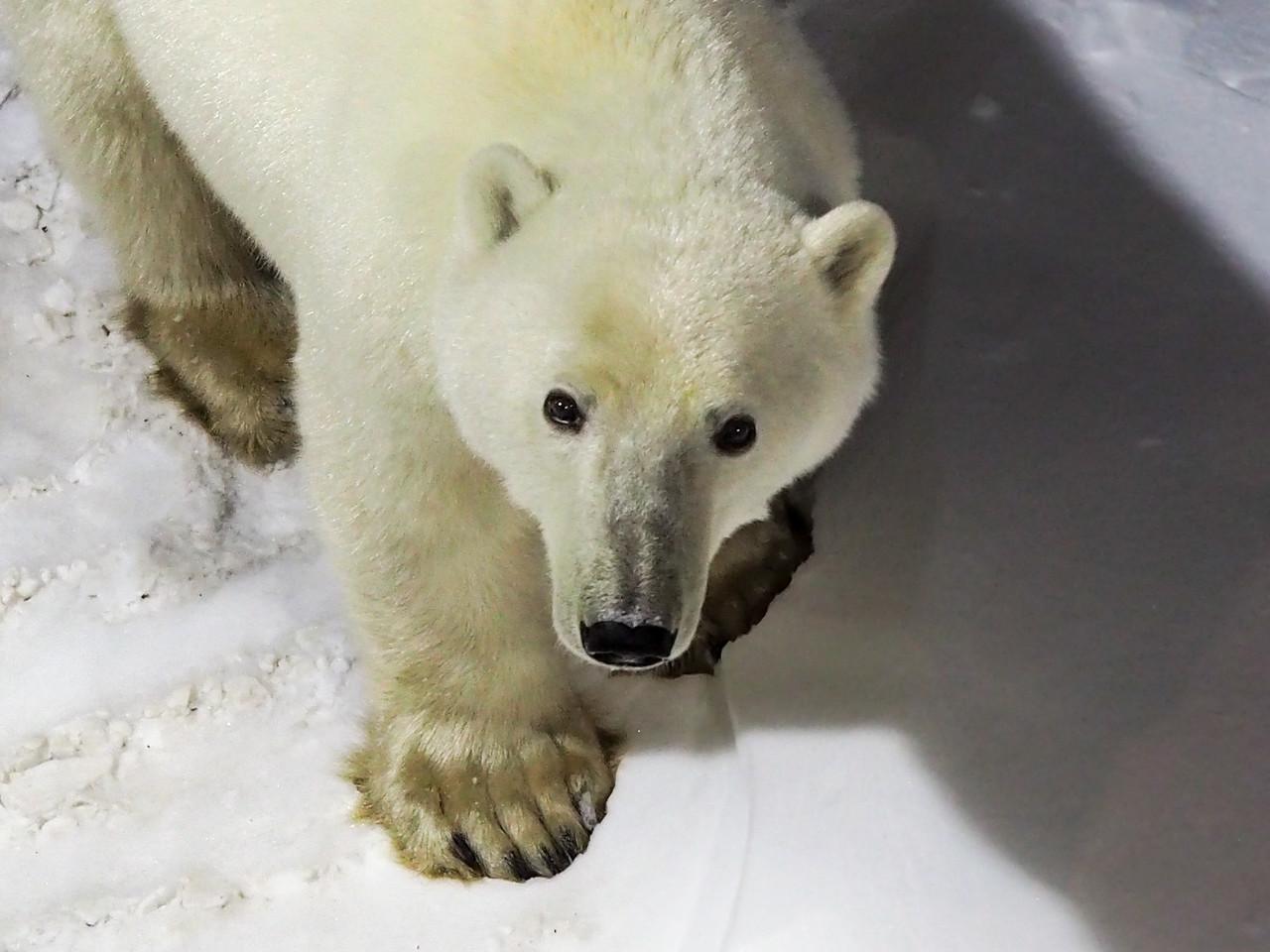 Polar bear in Churchill at night