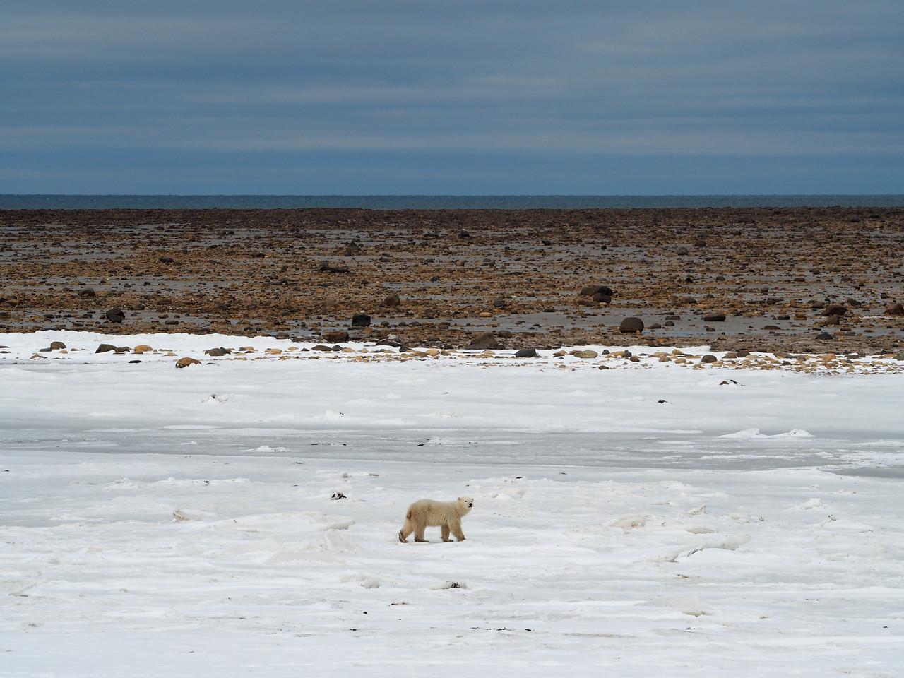 Orphaned polar bear cub
