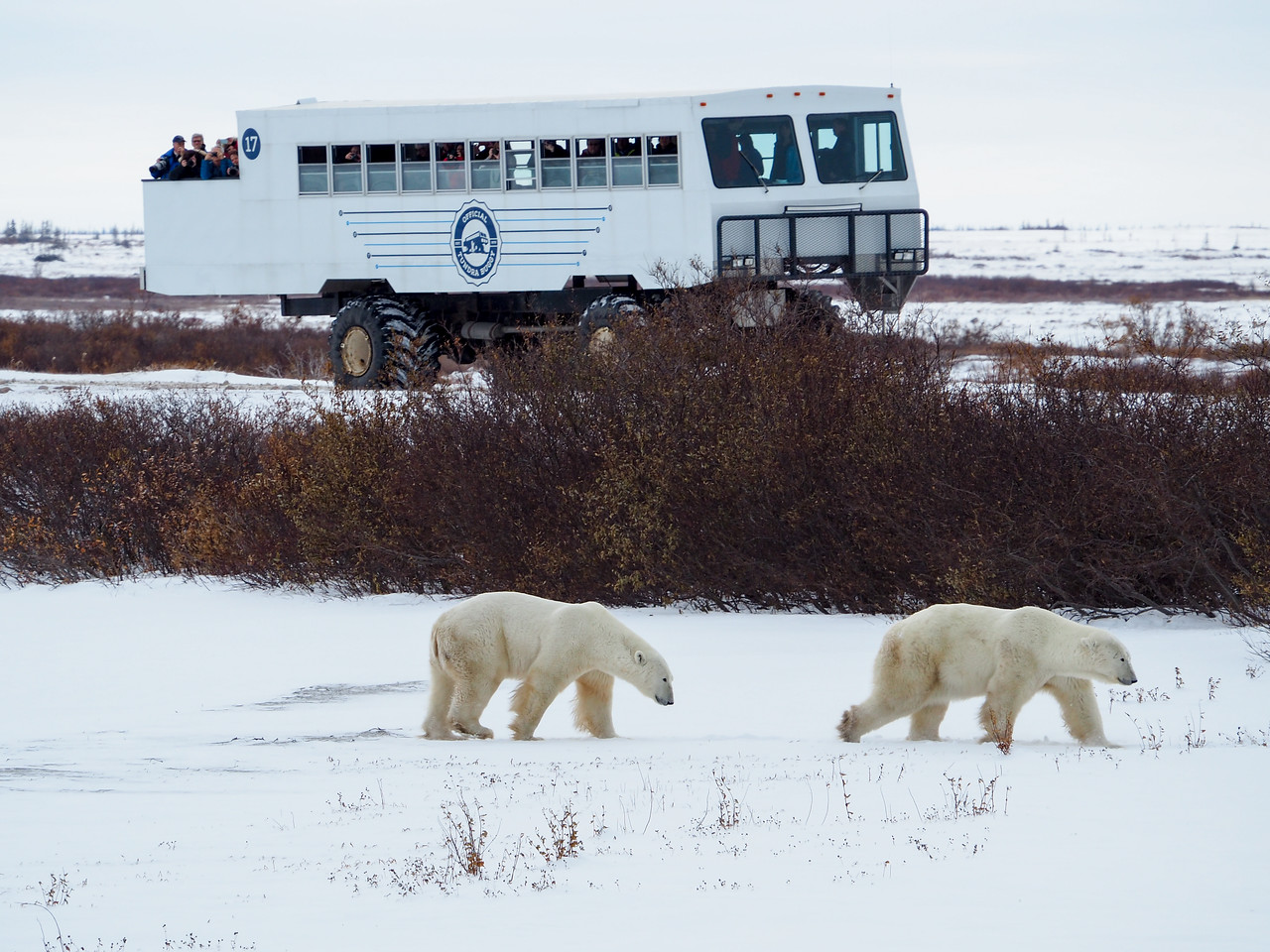 Watching polar bears from a Tundra Buggy