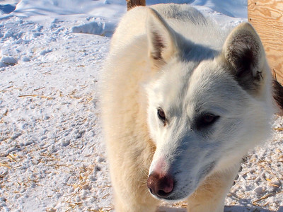 Dogsledding with Wapusk Adventures in Churchill, Manitoba