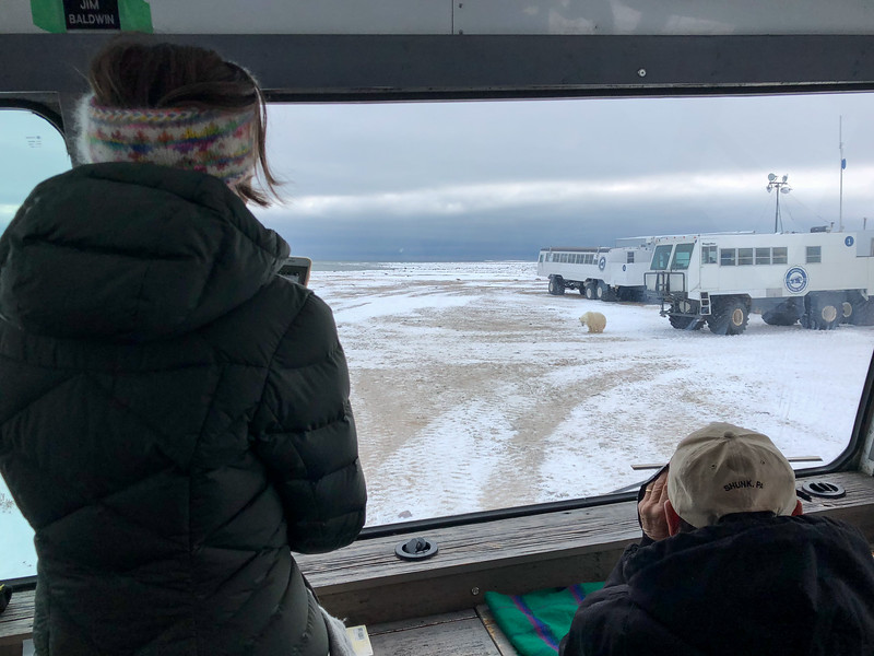 Polar bear watching on the tundra