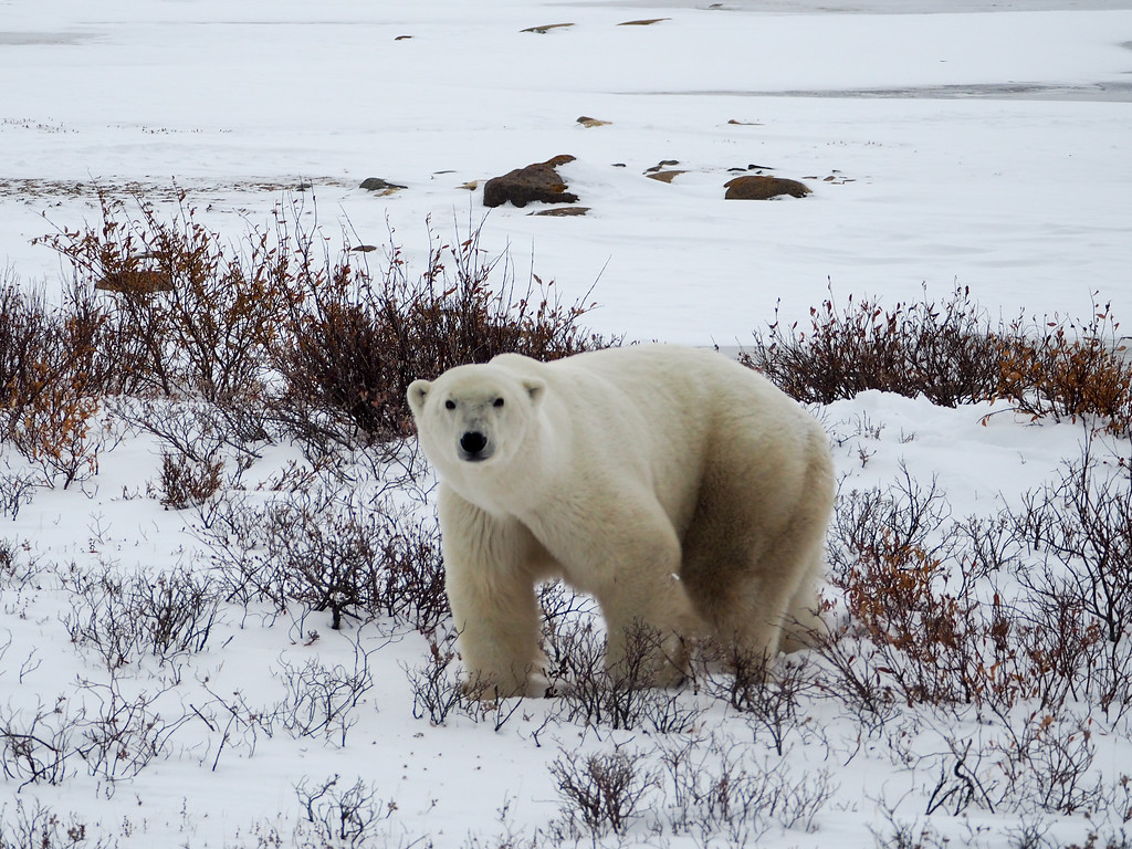 Big polar bear in Manitoba