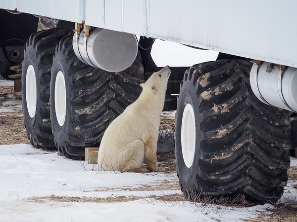 Polar bear at the Tundra Buggy Lodge